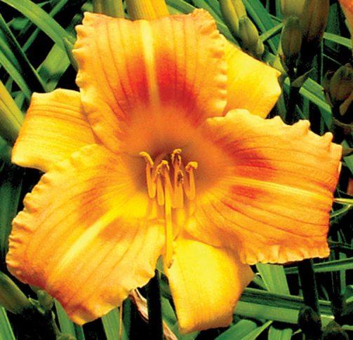 Daylily_Orange_Flurry_1