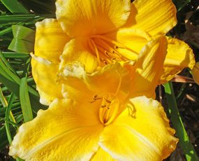 Daylily_PP_Orange_Frost2