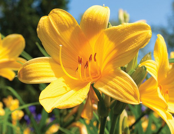 Daylily_YellowTail
