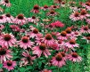 Echinacea_Purple_Coneflower