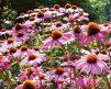Echinacea_Purpurea_Magnus