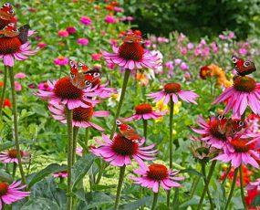 Echinacea_coneflower