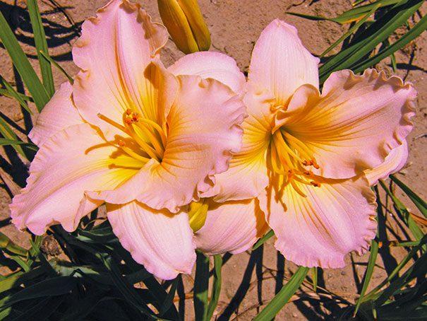 Hemerocallis-Fairy-Tale-Pink