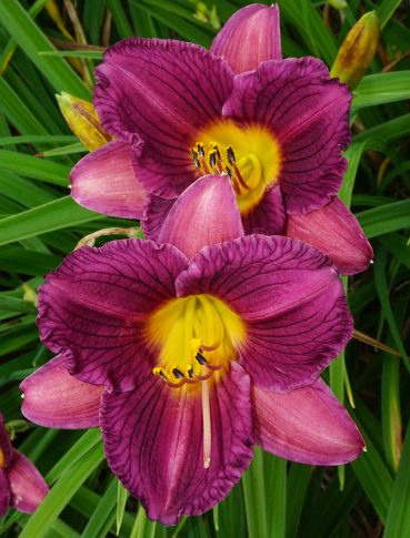 Hemerocallis_PurpleDeOro