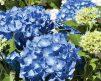 Hydrangea-All-Summer-Beauty