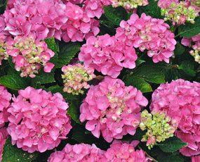 Hydrangea-Forever-Pink