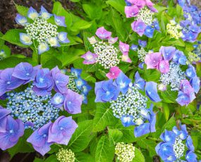 Hydrangea-Tellers-Blue