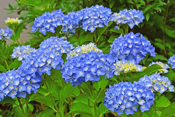 Hydrangea_All_Summer_Beauty