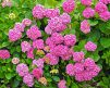 Hydrangea_Forever_Pink2