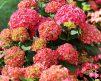 Hydrangea_pink_2