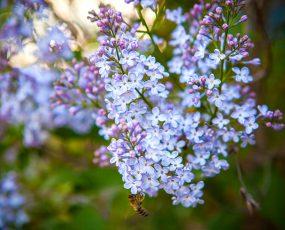 LilacWonderBlue