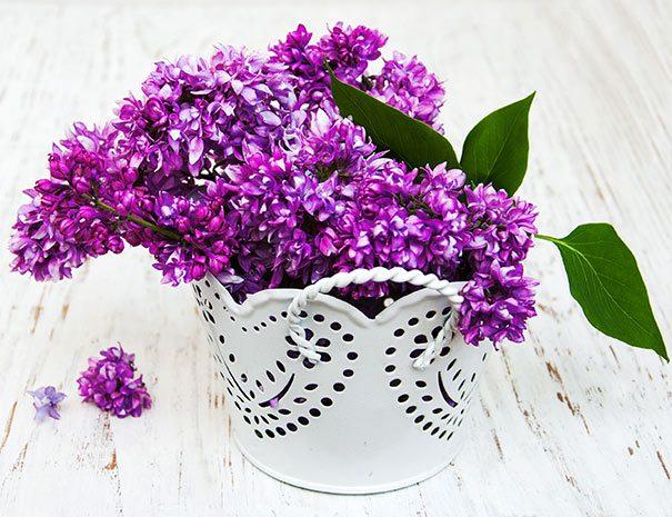 Lilac_Charles_Joly