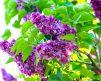 Lilac_Charles_Joly_2