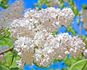 Lilac_Madame_Lemoine