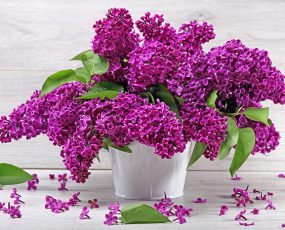 Lilac_Monge_bunch