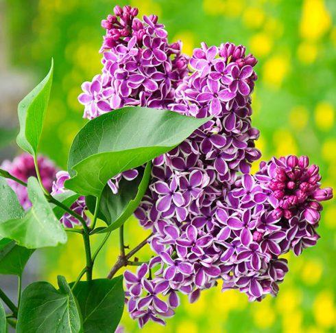Lilac_Sensation_1