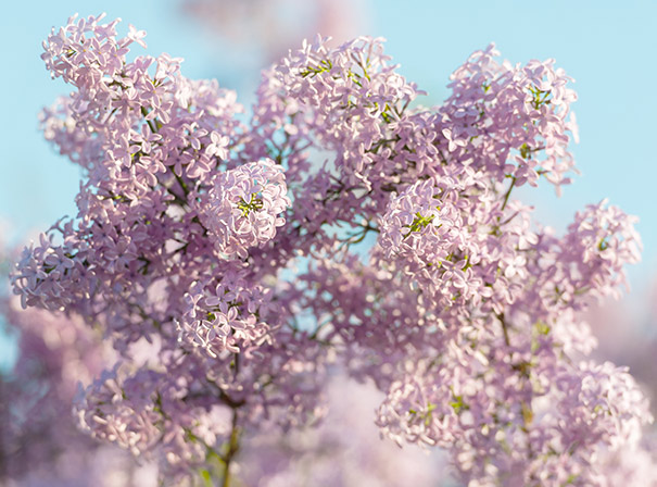 Lilac Villosa Late Lilac De Groot Inc