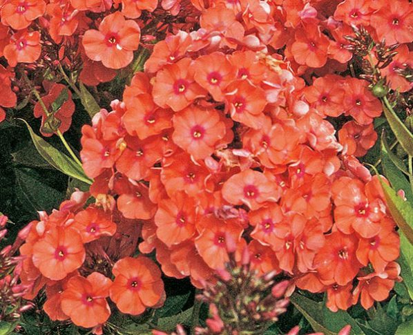 Phlox-Orange-Perfection_detail