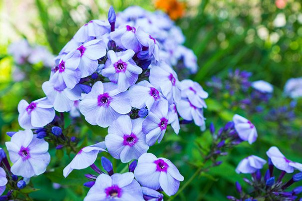 Phlox_Blue_Boy