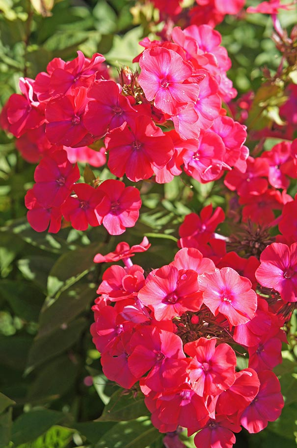 starfire is a garden phlox cultivar which typically grows in an upright clump to 38 tall fragrant tubular flowers 12 to - Tall Garden Phlox