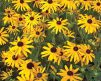 Rudbeckia_Goldstrum