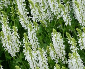 Salvia_Snow_Hill