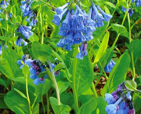 Virginia_Bluebells_1