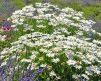 Daisey_Garden