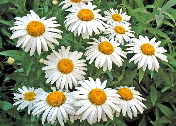 Looking For Alaska Daisy: Leucanthemum X Superbum (Shasta Daisy)