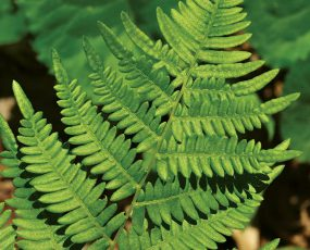 Fern_Leatherwood_2