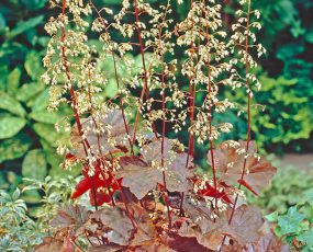Heuchera_Palace_Purple