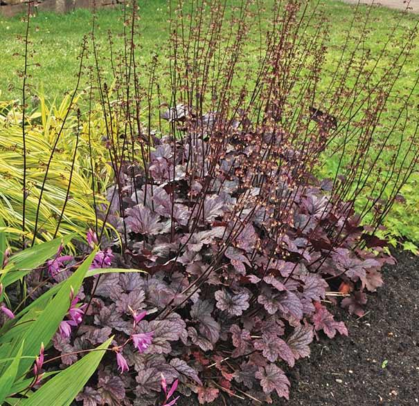 heuchera coral bells micrantha 39 palace purple 39 degroot. Black Bedroom Furniture Sets. Home Design Ideas