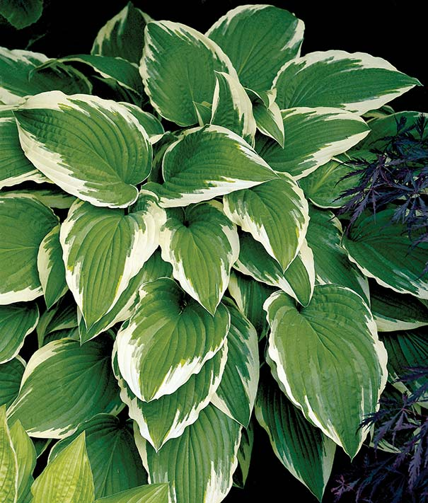 Hosta Undulata Albo Marginata Degroot