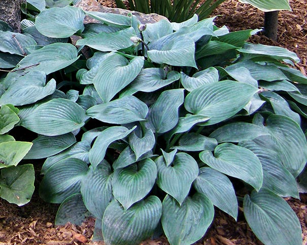 Hosta Blue Cadet Degroot