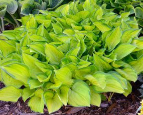 Hosta_Fortunei_Albo_picta