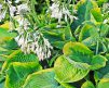 Hosta_FrancesWilliams_2