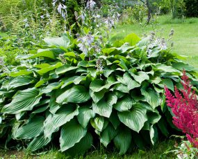 Hosta_Royal_Standard
