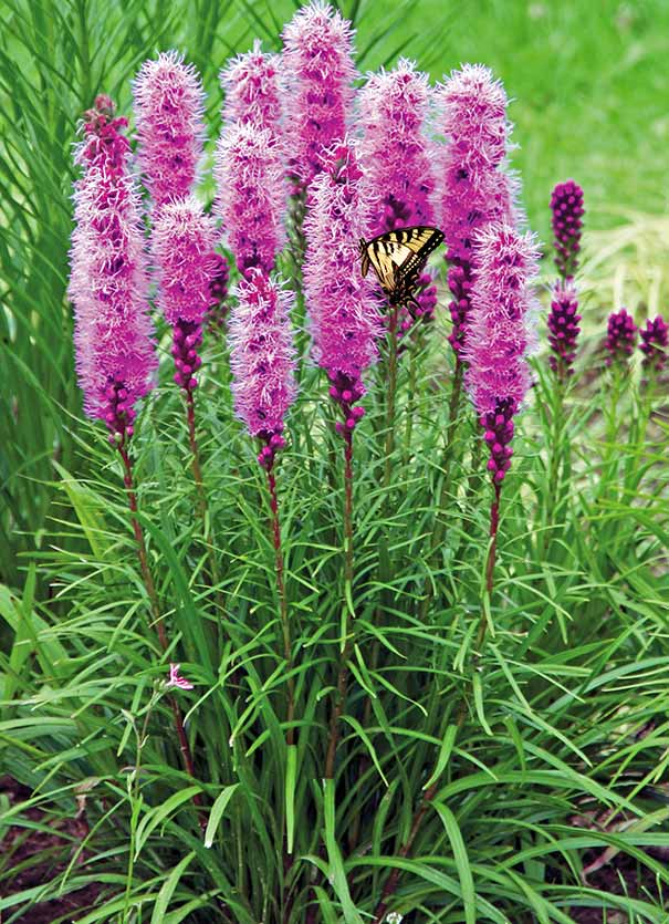 Liatris spicata de groot inc perennials daylilies fruits liatris will provide a perfect vertical perennial accent for the garden the rose purple spikes will attract both butterflies and hummingbirds mightylinksfo