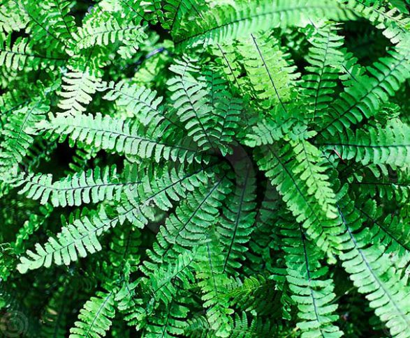 MAIDENHAIR_FERN