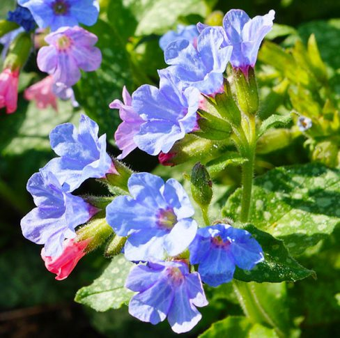 Pulmonaria_bluedetail