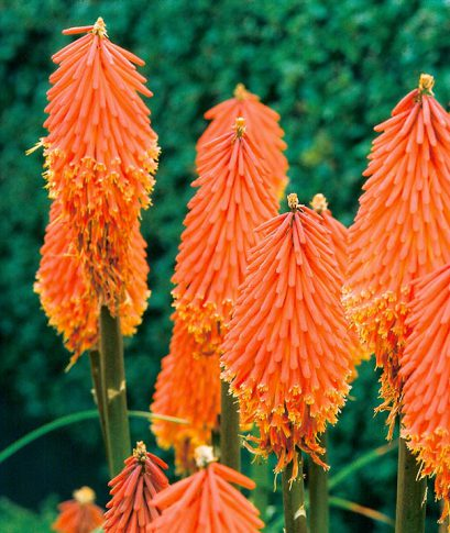 Tritoma-Red-Hot-Poker