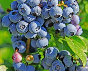 Blueberry_Duke