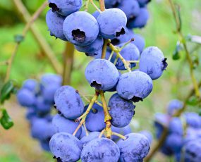 Blueberry_Elliott