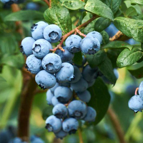 Blueberry_Jersey