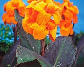 Canna Wyoming Orange