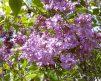 LavenderLady