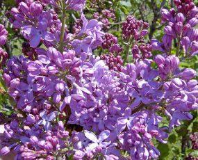 LavenderLady3