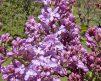 LavenderLady4
