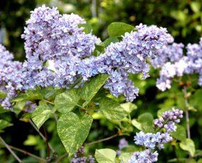 Lilac Aucubaefolia 2