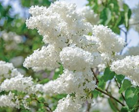 Lilac Bridal Memories